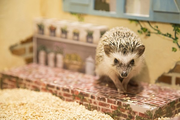 A cafe where you can relax in the world of cute hedgehogs and dollhouses.