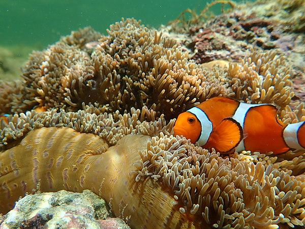 【沖繩.西表島】大自然水族館!與海洋生物一同悠遊的星砂浮潛體驗【免費照片檔案】