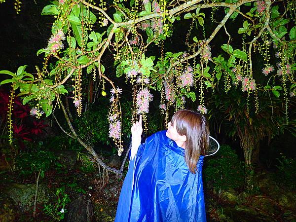 "[Okinawa, Ishigaki Island] [Limited period] The mysterious ""night flower"" of Ishigaki Island, Sagaribana Flower Night Tour [Free photo data]"