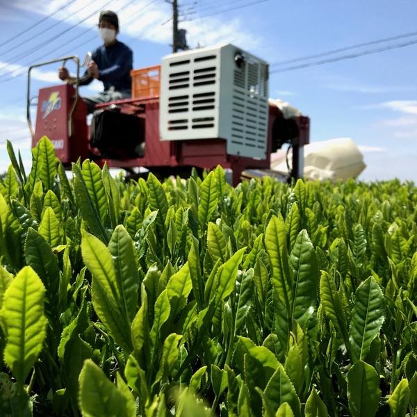 ※現在はご予約を受け付けておりません※【川越・7/10(土)限定】イベント限定ランチ付!お茶摘みと枝豆・ じゃがいもの収穫体験!