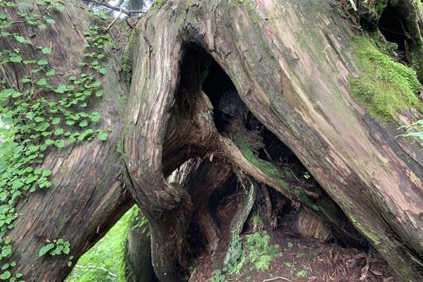 【往復乗船付き】原生林と杉巨木群トレッキング神秘の大自然 原生林と杉巨木群トレッキング ~内海府ルート~(新潟港⇔両津港)